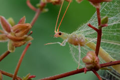 A lacewing Stock Images