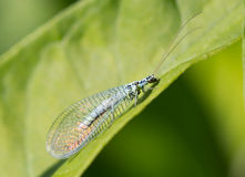 Lacewing Royalty Free Stock Image