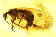 Lacewing. Brown lacewing imprisoned in baltic amber royalty free stock photo