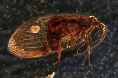 Lacewing. Brown lacewing imprisoned in baltic amber stock photos