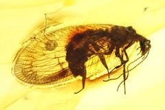 Lacewing. Brown lacewing imprisoned in baltic amber royalty free stock photos