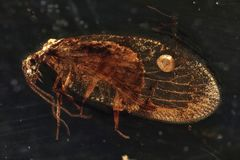 Lacewing. Brown lacewing imprisoned in baltic amber stock photography