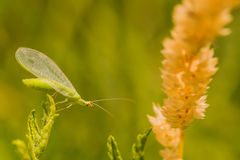 Lacewing Bug Macro Stock Image