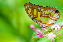 The Lacewing Buterfly. Close up on a Lacewing butterfly also known as Cethosia Biblis royalty free stock photos