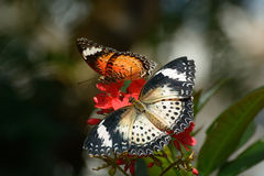 Lacewing Butterflies perched on flowers Stock Image
