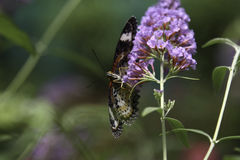 The Lacewing Butterfly. Is slurping nectar from the flower Royalty Free Stock Photo