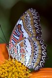 Lacewing Butterfly. Cethlosia biblis on an orange flower Royalty Free Stock Photos
