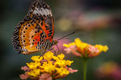 Lacewing butterfly on a flower Stock Photography