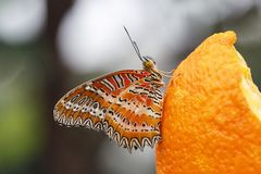 Lacewing Butterfly stock photo