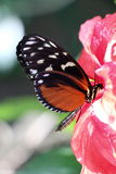 Lacewing Butterfly Stock Photos