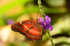 Lacewing butterfly. A Lacewing butterfly lands on a Blue Porterweed flower in the gardens royalty free stock photos