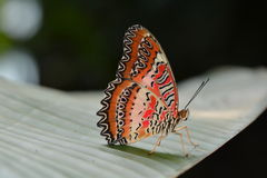 Lacewing butterfly. A lacewing butterfly lands on a plant in the gardens royalty free stock images