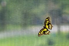 Lacewing butterfly on a net. Lacewing butterfly sitting on a net in a botanical garden stock image