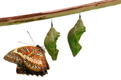 Lacewing Butterfly on Pupae over white Stock Photography