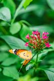Lacewing butterfly on a purple flower. In a botanical garden royalty free stock images