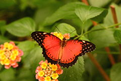Lacewing butterfly. A lacewing butterfly shows off its pretty to the camera man royalty free stock photos