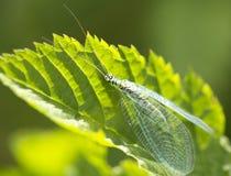 Lacewing do inseto (latim Chrysopidae) Imagens de Stock Royalty Free