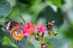 Lacewing do leopardo da borboleta Fotografia de Stock