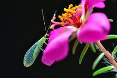 Lacewing en una flor magenta del purslane Imagen de archivo