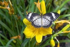 Lacewing femenino del leopardo en la flor Foto de archivo libre de regalías