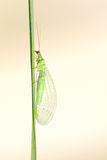 Lacewing fly Stock Image