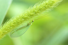 Lacewing fly. The close-up of lacewing fly. Scientific name: Chrysopa perla royalty free stock photography