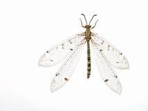 Lacewing krypmakro för Ant-lion arkivfoto