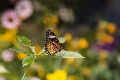 lacewing leopard πεταλούδων αρσενικό Στοκ Φωτογραφίες