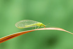 Lacewing Royalty Free Stock Photos
