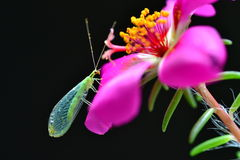 Lacewing on a magenta purslane flower Stock Image