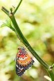 Lacewing masculino del leopardo y x28; Euanthes& x29 del cyane de Cethosia; hangin de la mariposa Imágenes de archivo libres de regalías