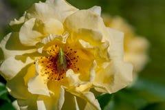 Lacewing que se sienta en rosas amarillas de una flor fotos de archivo libres de regalías