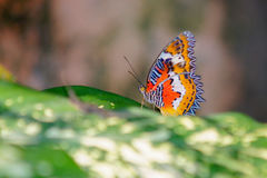 Lacewing rouge malaisien Images stock