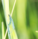 Lacewing on stem Royalty Free Stock Image