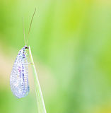 Lacewing on stem Royalty Free Stock Photos
