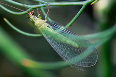 Lacewing verde fotos de stock royalty free