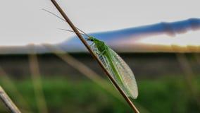 Lacewing verde - carnea de Chrysoperla foto de stock