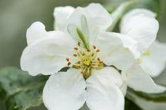 Lacewing verde com?n en la flor del manzano, depredador beneficioso de ?fidos foto de archivo libre de regalías