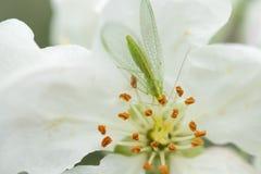 Lacewing verde com?n en la flor del manzano, depredador beneficioso de ?fidos fotografía de archivo