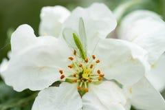 Lacewing verde com?n en la flor del manzano, depredador beneficioso de ?fidos foto de archivo