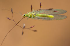 Lacewing Stock Images