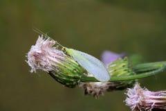 Lacewingen flyger Arkivbilder