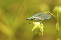 Lacewings on grass Stock Photography