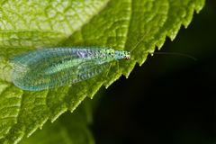 Lacewings sitting Royalty Free Stock Photos