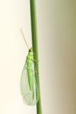 Lacewingsvlieg Royalty-vrije Stock Fotografie