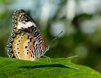 Lacewingsvlinder. Royalty-vrije Stock Afbeelding