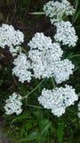 Lacey Pustynny kwiat obraz stock