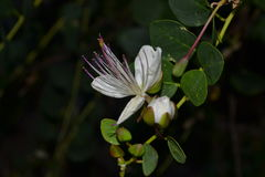 Lacey weiße Blume Lizenzfreie Stockfotografie