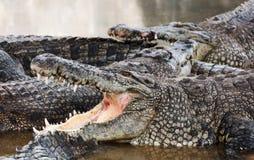 Lachende geöffnete Mund Krokodile lizenzfreie stockfotografie