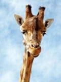 Lachende Giraffe Stockfoto